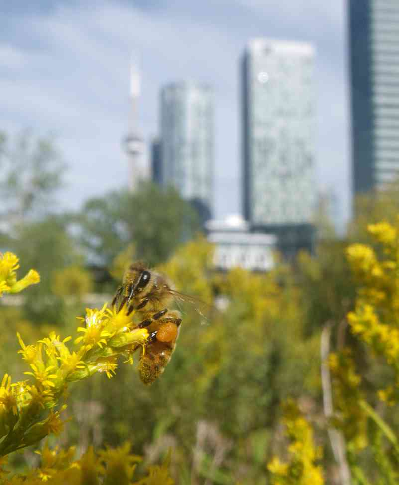 City skyline with honey bee on goldenrod.